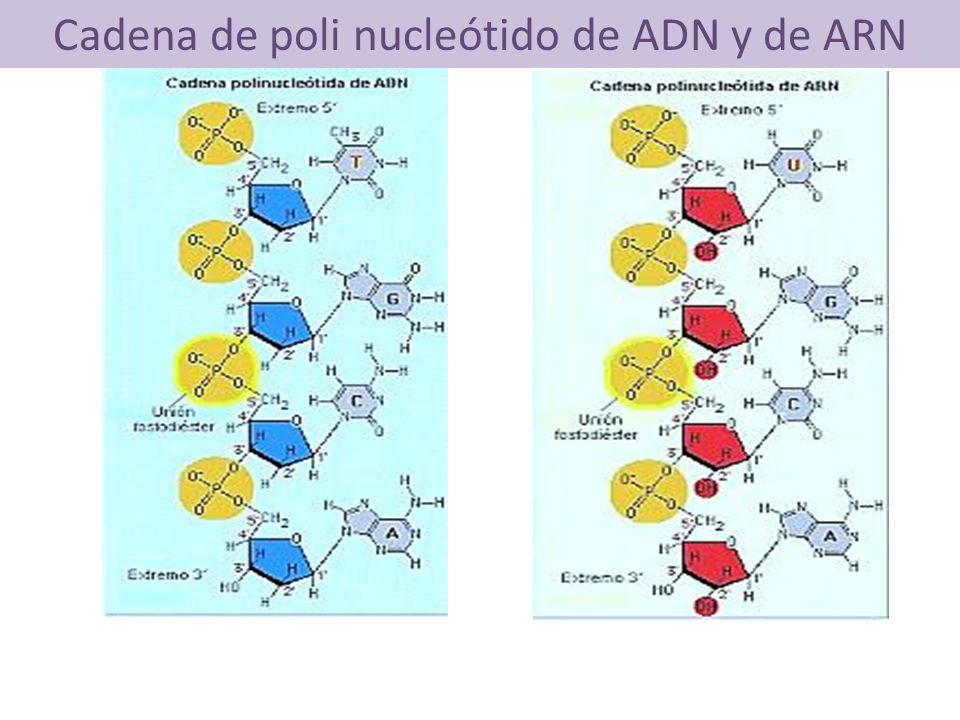 Cadena de poli nucleótido de ADN y de ARN