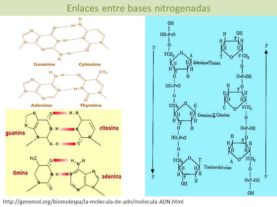 http://genemol.org/biomolespa/la-molecula-de-adn/molecula-ADN.html Enlaces entre bases nitrogenadas
