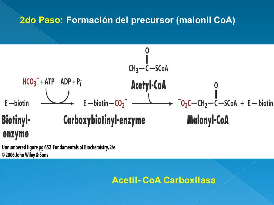 2do Paso: Formación del precursor (malonil CoA) Acetil- CoA Carboxilasa