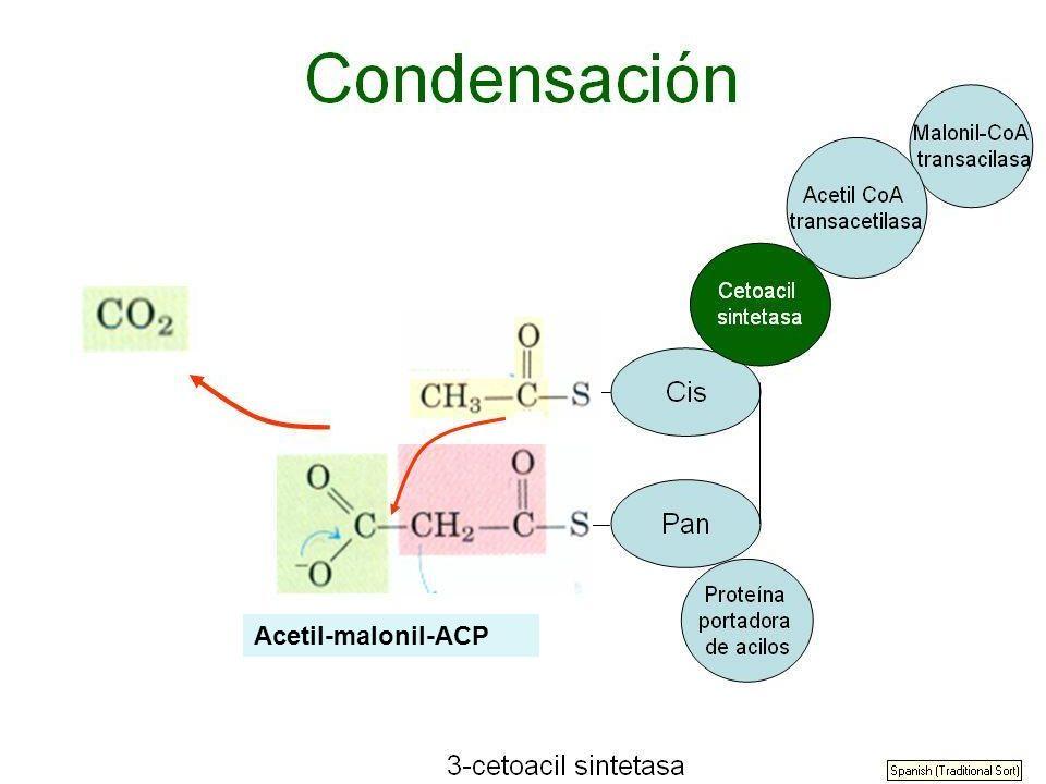 Acetil-malonil-ACP