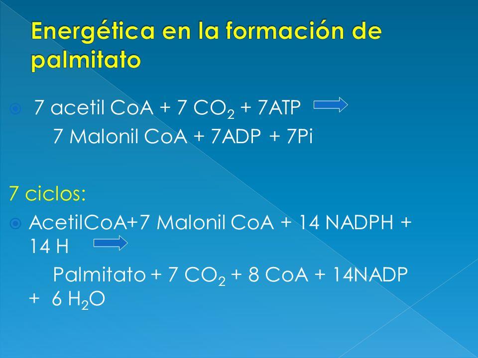 7 acetil CoA + 7 CO 2 + 7ATP 7 Malonil CoA + 7ADP + 7Pi 7 ciclos: AcetilCoA+7 Malonil CoA + 14 NADPH + 14 H Palmitato + 7 CO 2 + 8 CoA + 14NADP + 6 H