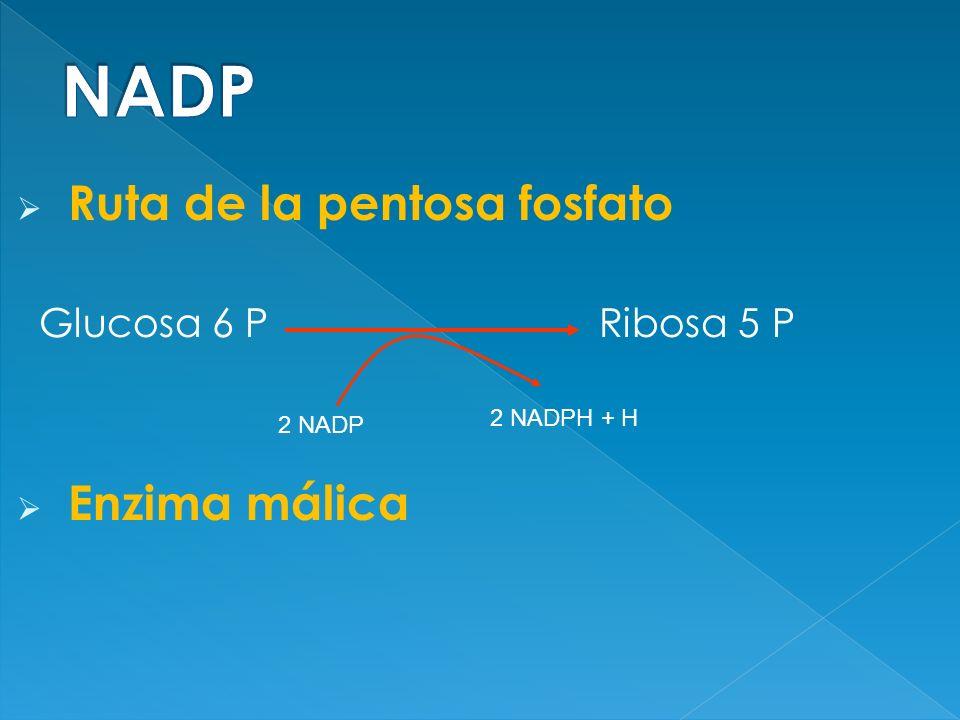 Ruta de la pentosa fosfato Glucosa 6 P Ribosa 5 P Enzima málica 2 NADP 2 NADPH + H