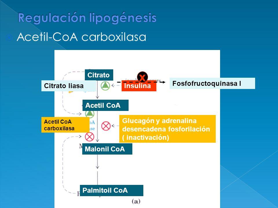Acetil-CoA carboxilasa Fosfofructoquinasa I Glucagón y adrenalina desencadena fosforilación ( inactivación) Citrato Acetil CoA Malonil CoA Palmitoil C