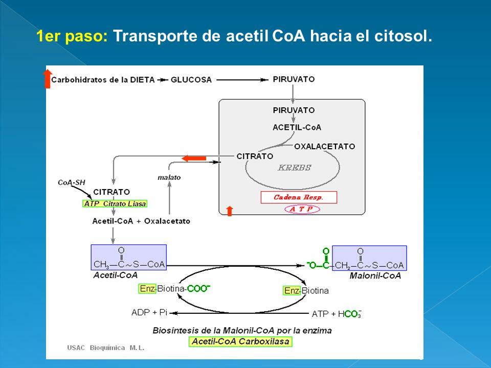 7 acetil CoA + 7 CO 2 + 7ATP 7 Malonil CoA + 7ADP + 7Pi 7 ciclos: AcetilCoA+7 Malonil CoA + 14 NADPH + 14 H Palmitato + 7 CO 2 + 8 CoA + 14NADP + 6 H 2 O
