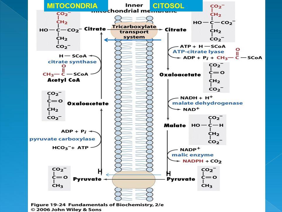 H H MITOCONDRIACITOSOL