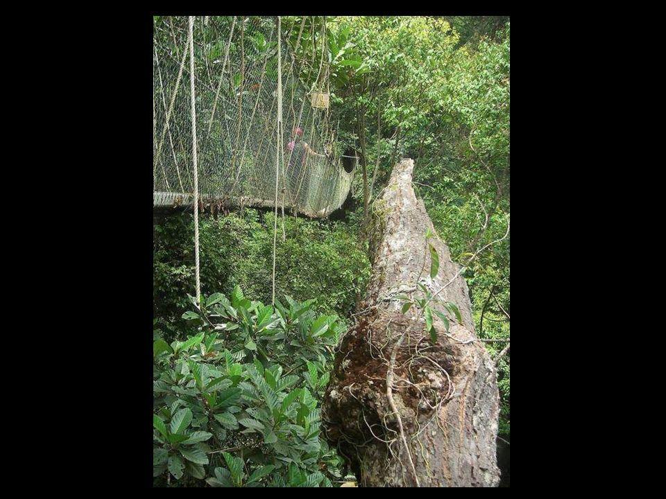 Puente en el Parque Nacional Taman Negara, Malasia