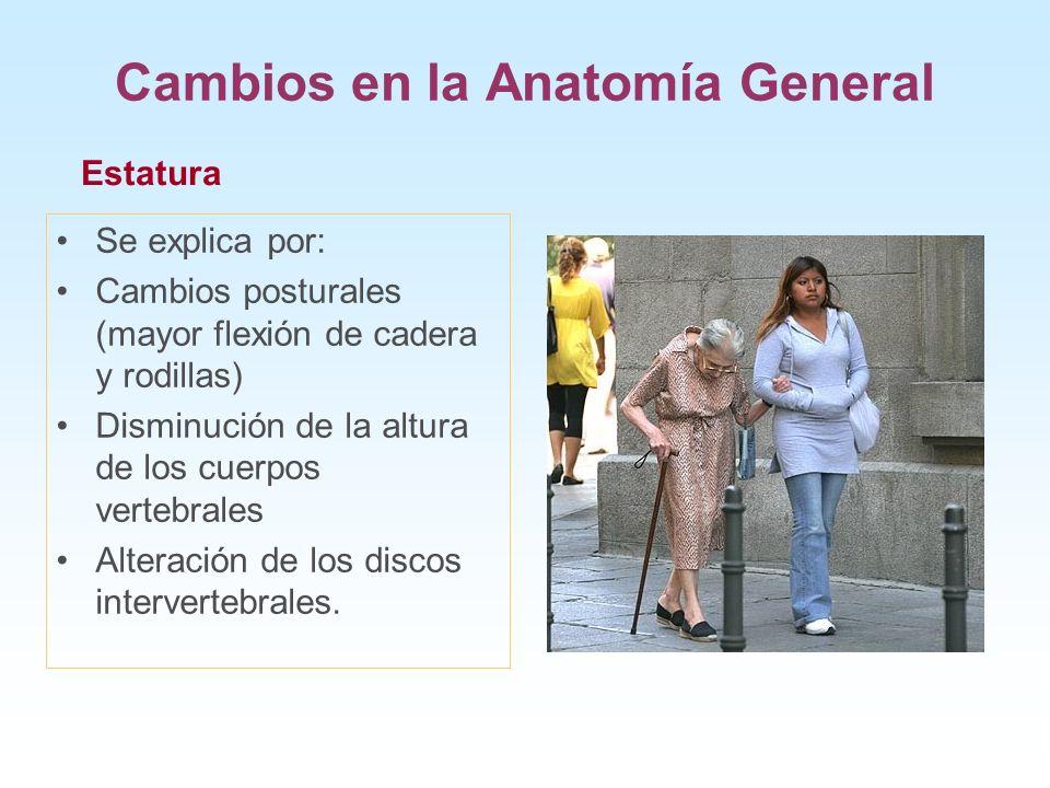 Cambios en la Anatomía General Se explica por: Cambios posturales (mayor flexión de cadera y rodillas) Disminución de la altura de los cuerpos vertebr