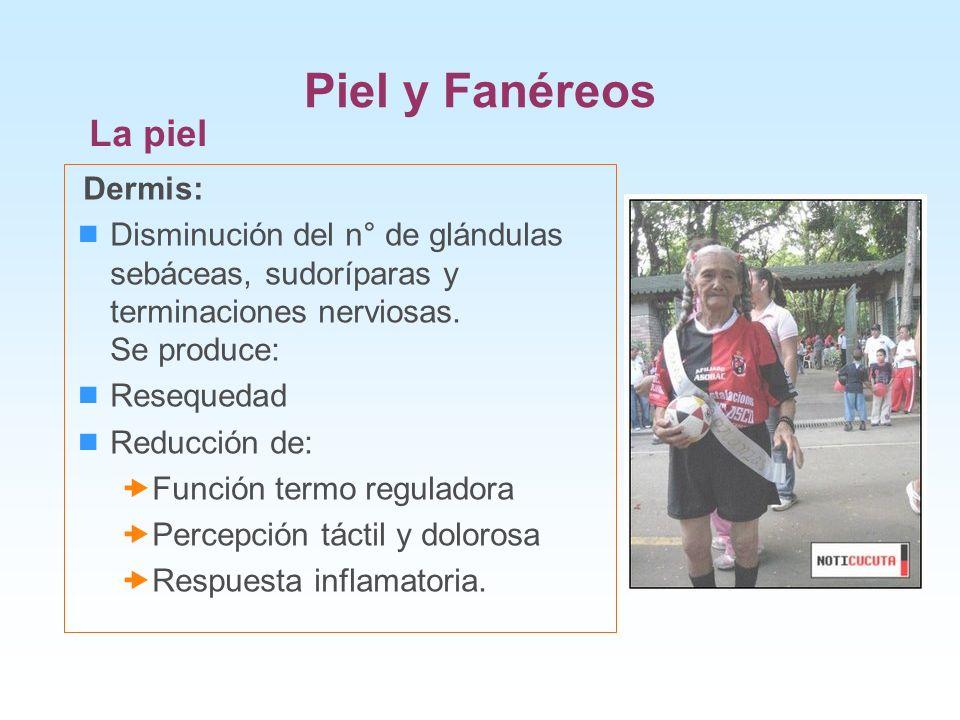 Piel y Fanéreos La piel Dermis: Disminución del n° de glándulas sebáceas, sudoríparas y terminaciones nerviosas. Se produce: Resequedad Reducción de: