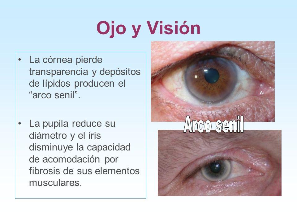 Ojo y Visión La córnea pierde transparencia y depósitos de lípidos producen el arco senil. La pupila reduce su diámetro y el iris disminuye la capacid