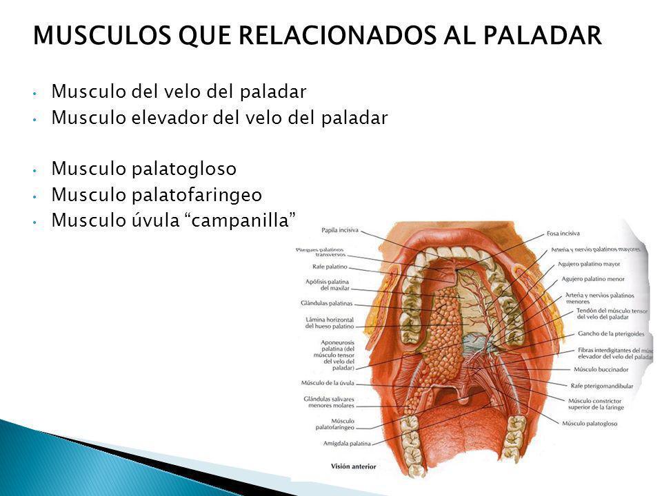 MUSCULOS QUE RELACIONADOS AL PALADAR Musculo del velo del paladar Musculo elevador del velo del paladar Musculo palatogloso Musculo palatofaringeo Mus