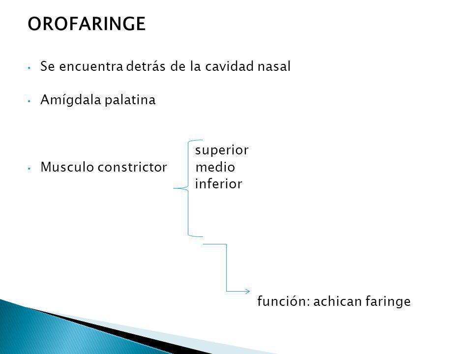 OROFARINGE Se encuentra detrás de la cavidad nasal Amígdala palatina superior Musculo constrictor medio inferior función: achican faringe