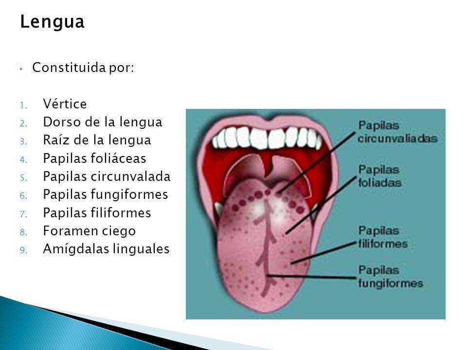 Lengua Constituida por: 1. Vértice 2. Dorso de la lengua 3. Raíz de la lengua 4. Papilas foliáceas 5. Papilas circunvalada 6. Papilas fungiformes 7. P