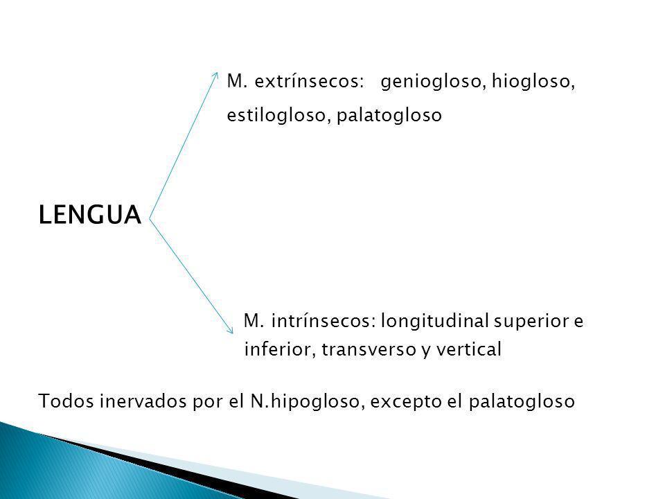 M. extrínsecos: geniogloso, hiogloso, estilogloso, palatogloso LENGUA M. intrínsecos: longitudinal superior e inferior, transverso y vertical Todos in