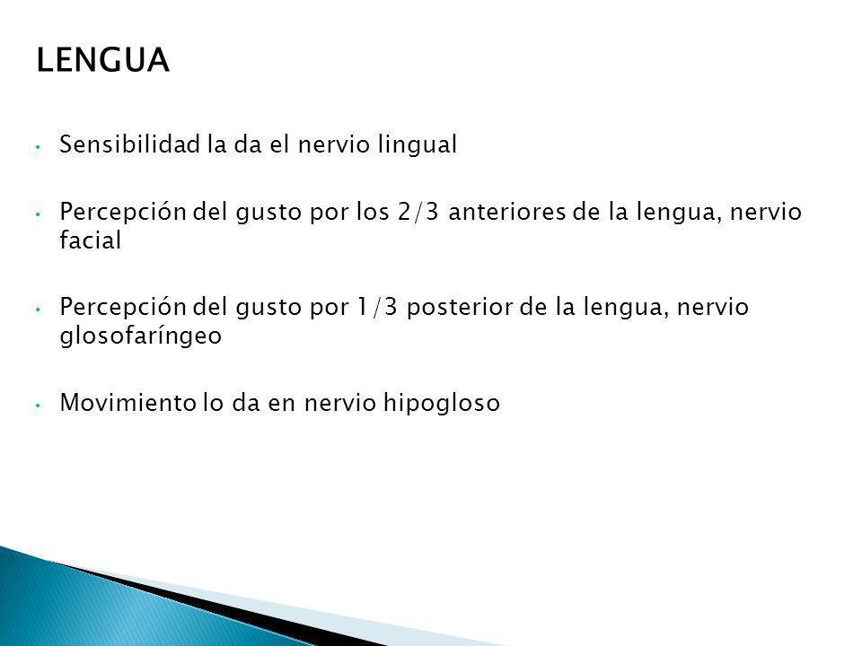 LENGUA Sensibilidad la da el nervio lingual Percepción del gusto por los 2/3 anteriores de la lengua, nervio facial Percepción del gusto por 1/3 poste