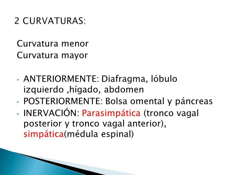Curvatura menor Curvatura mayor ANTERIORMENTE: Diafragma, lóbulo izquierdo,hígado, abdomen POSTERIORMENTE: Bolsa omental y páncreas INERVACIÓN: Parasi