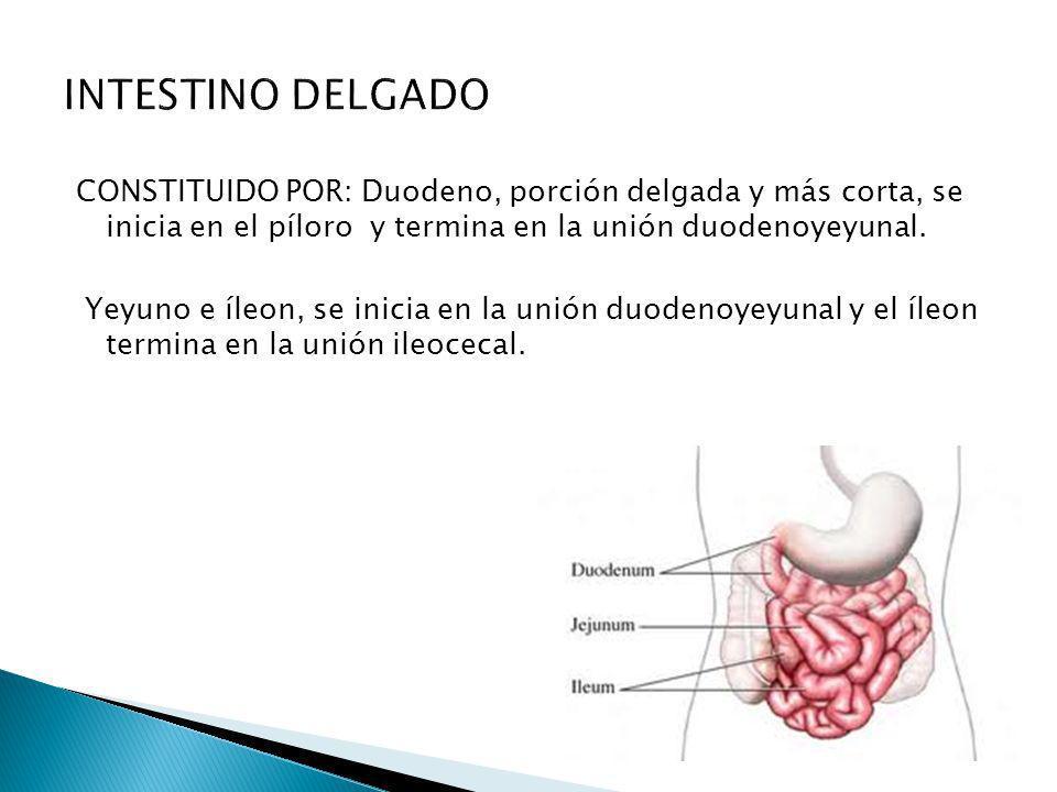 CONSTITUIDO POR: Duodeno, porción delgada y más corta, se inicia en el píloro y termina en la unión duodenoyeyunal. Yeyuno e íleon, se inicia en la un