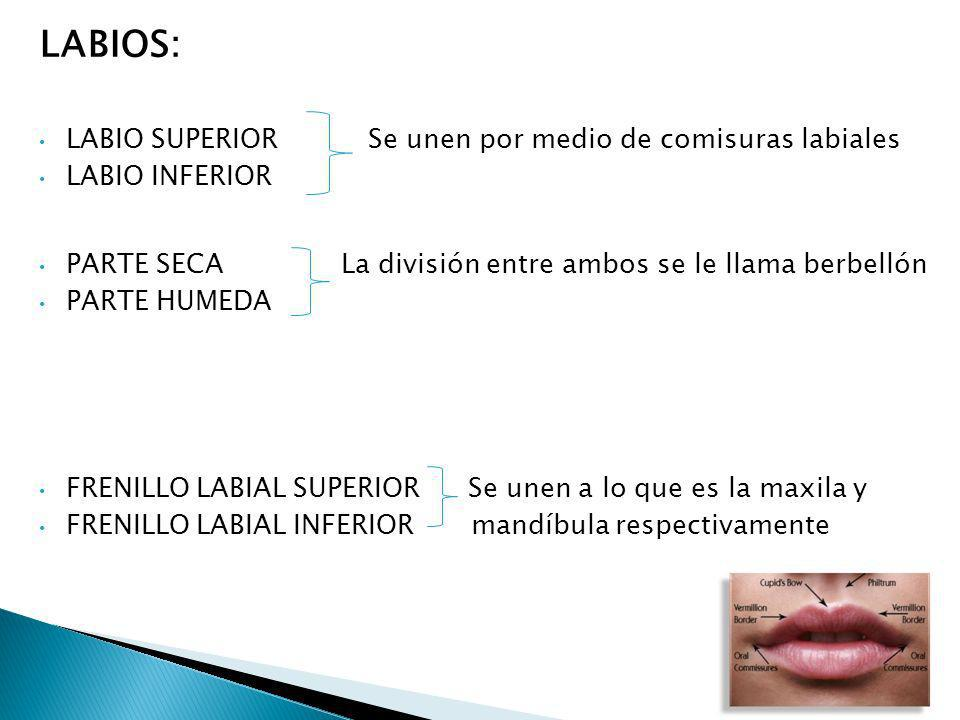 LABIOS: LABIO SUPERIOR Se unen por medio de comisuras labiales LABIO INFERIOR PARTE SECA La división entre ambos se le llama berbellón PARTE HUMEDA FR