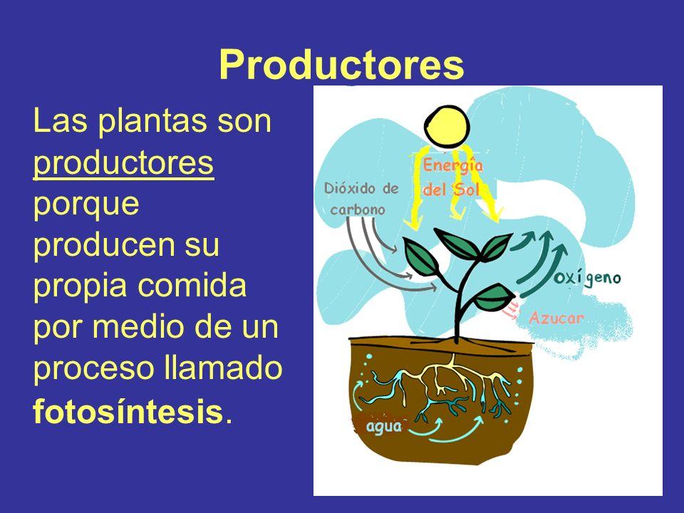 Productores Las plantas son productores porque producen su propia comida por medio de un proceso llamado fotosíntesis.