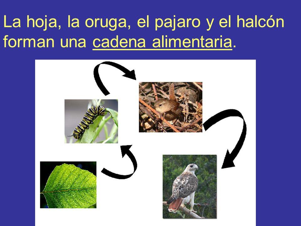La hoja, la oruga, el pajaro y el halcón forman una cadena alimentaria.