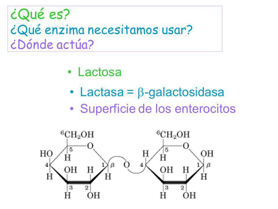 Lactosa Lactasa = -galactosidasa ¿Qué es? ¿Qué enzima necesitamos usar? ¿Dónde actúa? Superficie de los enterocitos