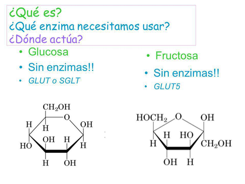 Glucosa Sin enzimas!! GLUT o SGLT Sin enzimas!! GLUT5 Fructosa ¿Qué es? ¿Qué enzima necesitamos usar? ¿Dónde actúa?