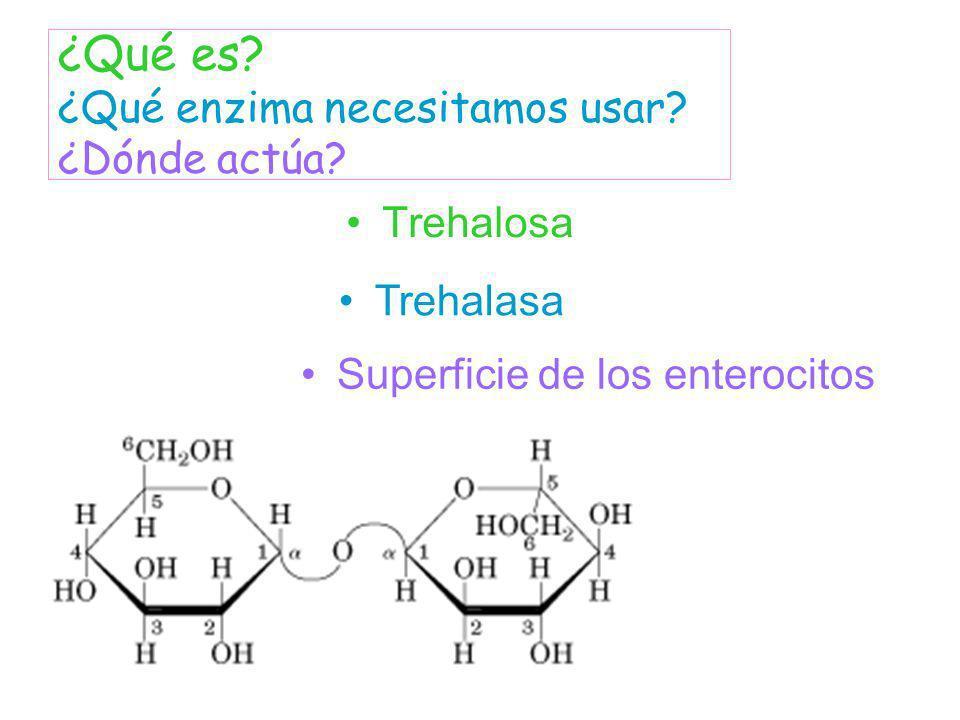 Trehalosa ¿Qué es? ¿Qué enzima necesitamos usar? ¿Dónde actúa? Trehalasa Superficie de los enterocitos