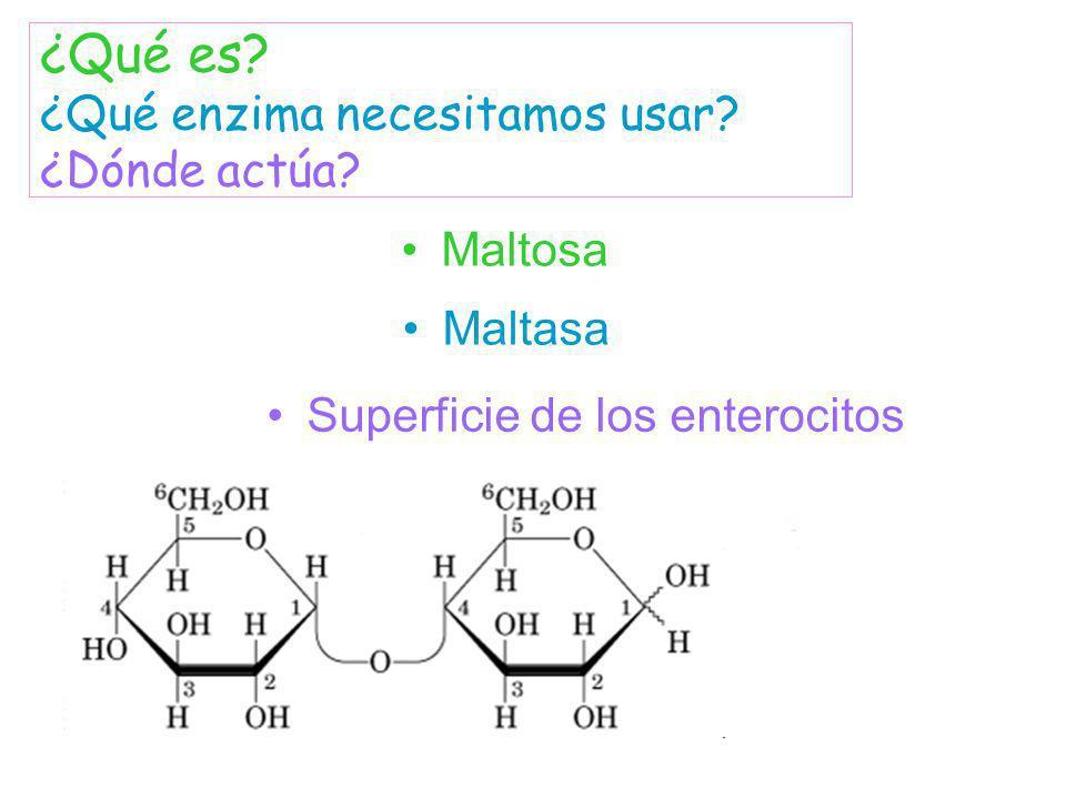 Maltosa Maltasa ¿Qué es? ¿Qué enzima necesitamos usar? ¿Dónde actúa? Superficie de los enterocitos