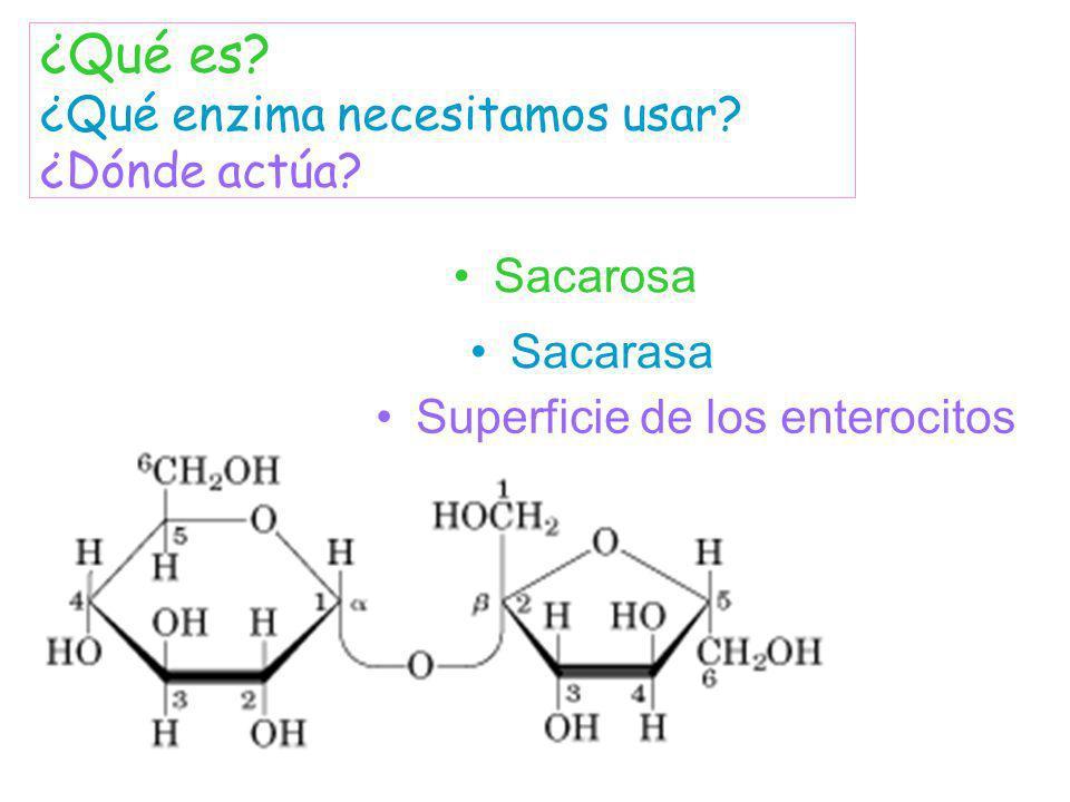 Sacarosa ¿Qué es? ¿Qué enzima necesitamos usar? ¿Dónde actúa? Sacarasa Superficie de los enterocitos