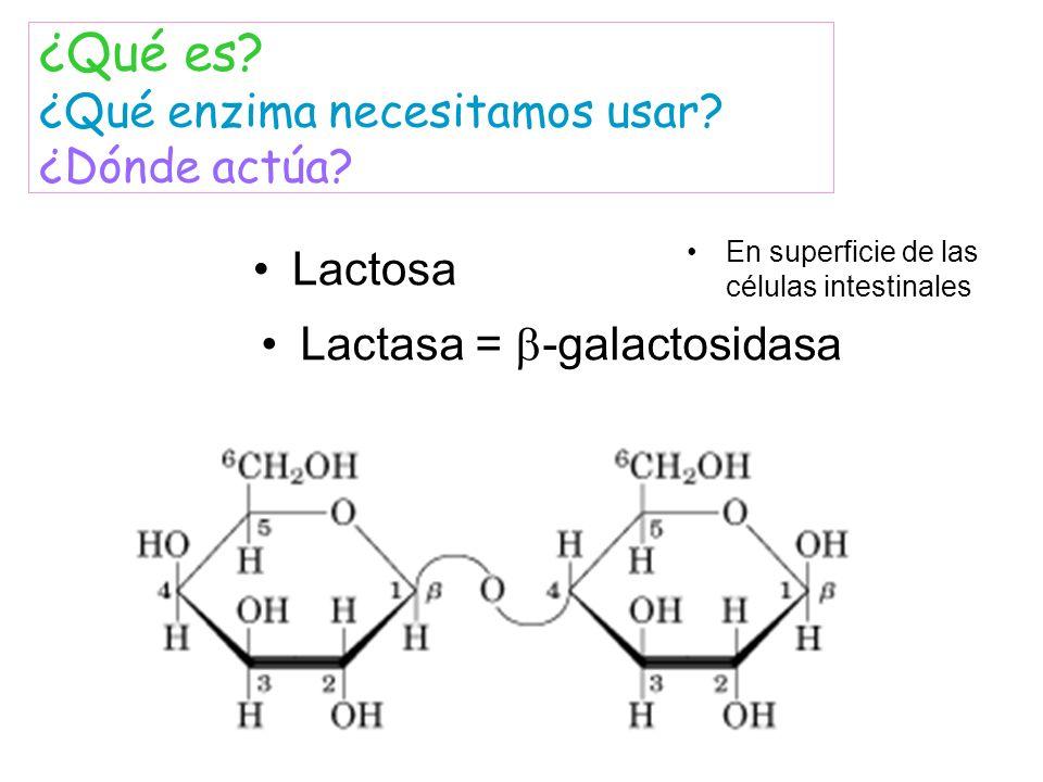 Lactosa Lactasa = -galactosidasa ¿Qué es? ¿Qué enzima necesitamos usar? ¿Dónde actúa? En superficie de las células intestinales