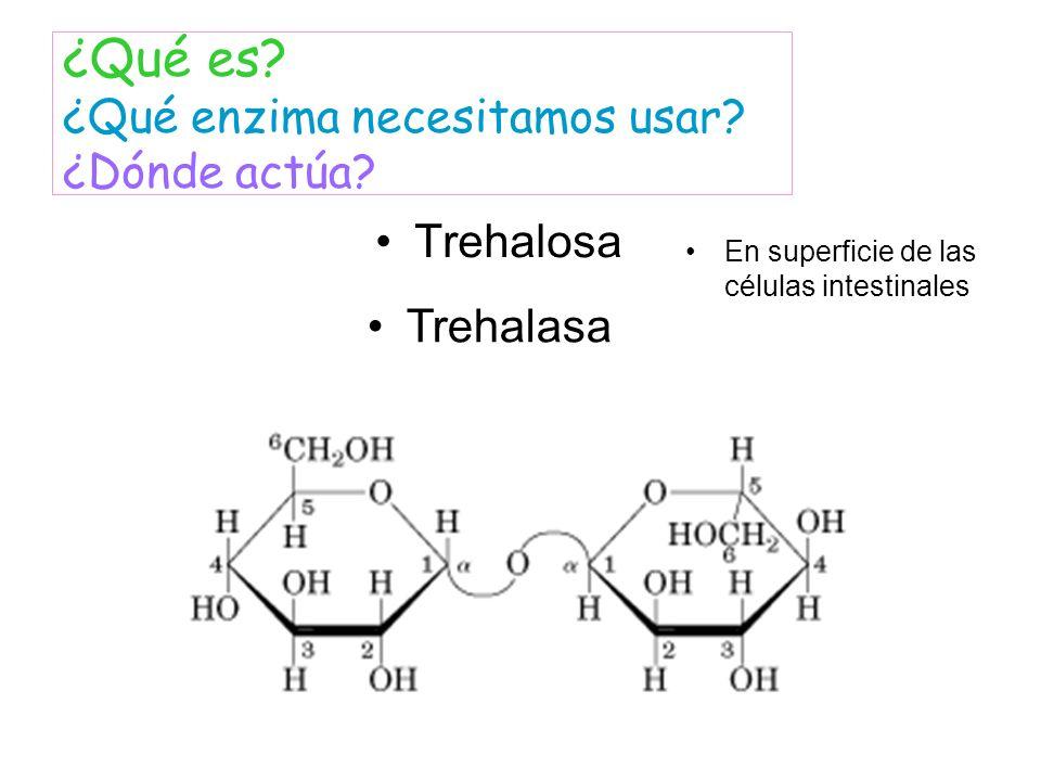 Trehalosa ¿Qué es? ¿Qué enzima necesitamos usar? ¿Dónde actúa? Trehalasa En superficie de las células intestinales