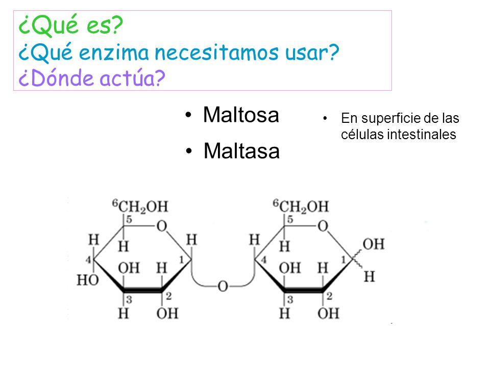 Maltosa Maltasa ¿Qué es? ¿Qué enzima necesitamos usar? ¿Dónde actúa? En superficie de las células intestinales