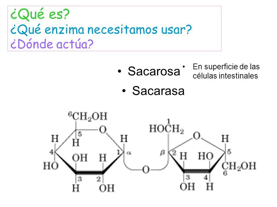 Sacarosa ¿Qué es? ¿Qué enzima necesitamos usar? ¿Dónde actúa? Sacarasa En superficie de las células intestinales