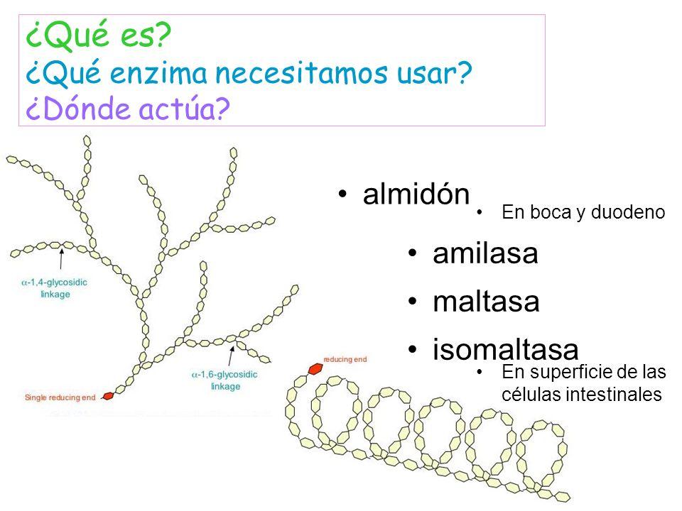 almidón amilasa maltasa ¿Qué es? ¿Qué enzima necesitamos usar? ¿Dónde actúa? isomaltasa En superficie de las células intestinales En boca y duodeno