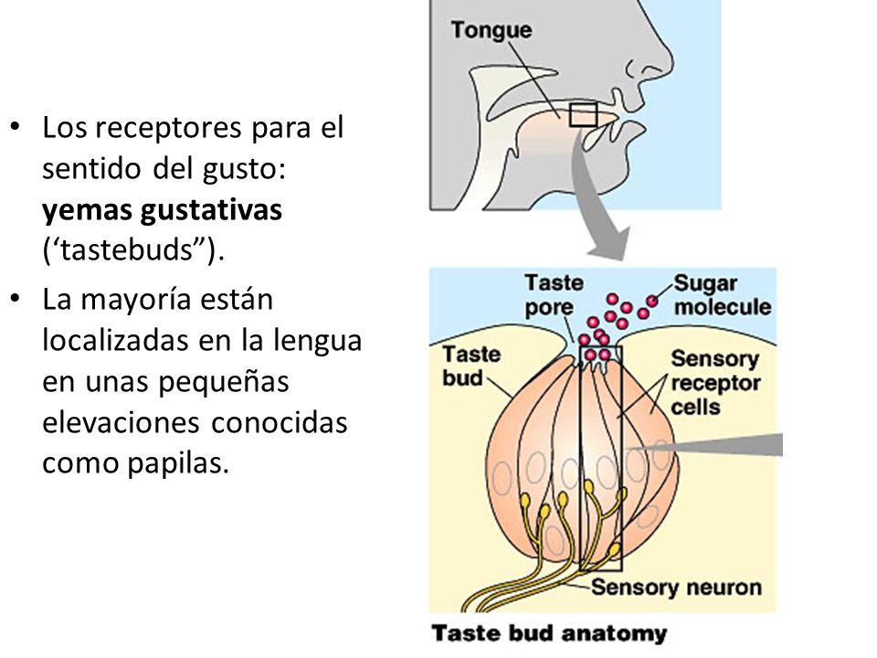 Los receptores para el sentido del gusto: yemas gustativas (tastebuds). La mayoría están localizadas en la lengua en unas pequeñas elevaciones conocid