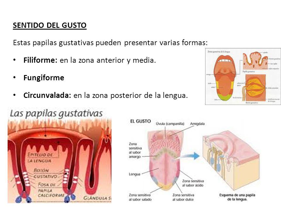 SENTIDO DEL GUSTO Estas papilas gustativas pueden presentar varias formas: Filiforme: en la zona anterior y media. Fungiforme Circunvalada: en la zona