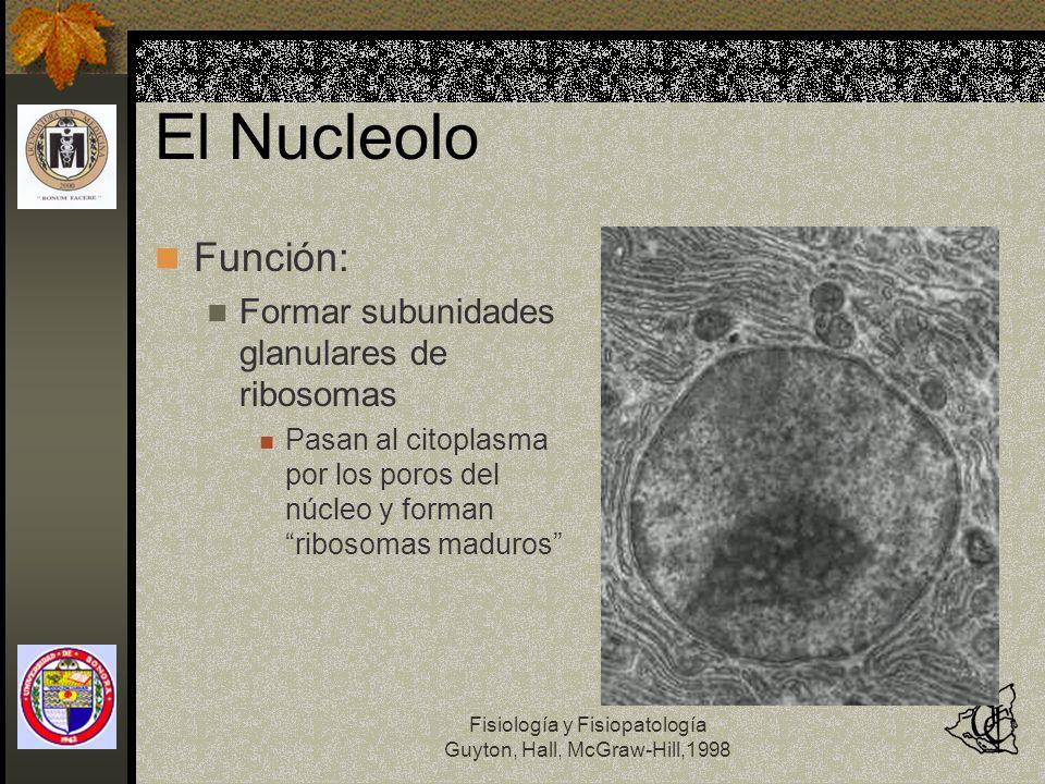 Fisiología y Fisiopatología Guyton, Hall, McGraw-Hill,1998 El Nucleolo Función: Formar subunidades glanulares de ribosomas Pasan al citoplasma por los