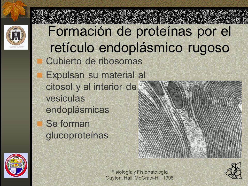 Fisiología y Fisiopatología Guyton, Hall, McGraw-Hill,1998 Formación de proteínas por el retículo endoplásmico rugoso Cubierto de ribosomas Expulsan s