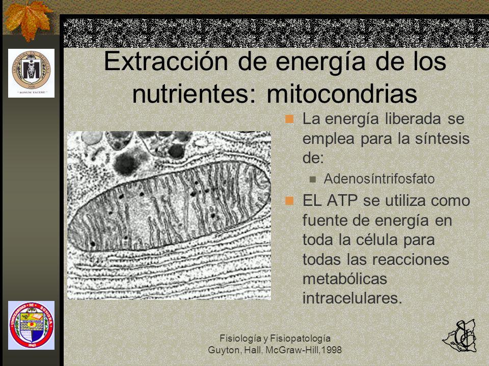 Fisiología y Fisiopatología Guyton, Hall, McGraw-Hill,1998 Extracción de energía de los nutrientes: mitocondrias La energía liberada se emplea para la