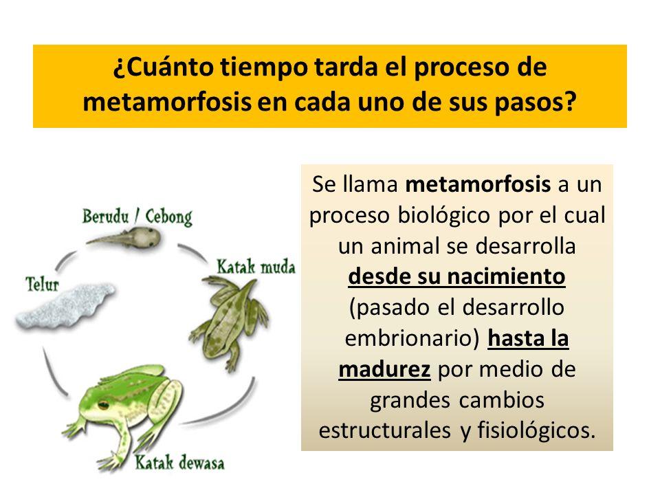 ¿Cuánto tiempo tarda el proceso de metamorfosis en cada uno de sus pasos? Se llama metamorfosis a un proceso biológico por el cual un animal se desarr