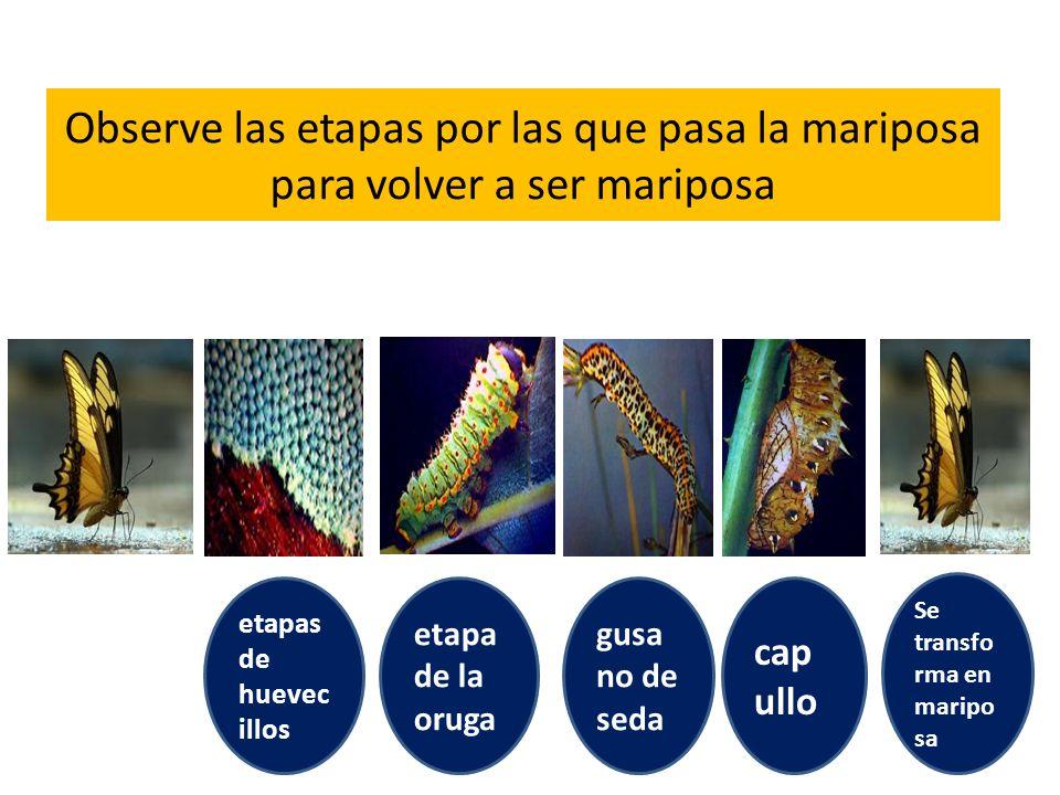 Observe las etapas por las que pasa la mariposa para volver a ser mariposa etapas de huevec illos etapa de la oruga gusa no de seda cap ullo Se transf