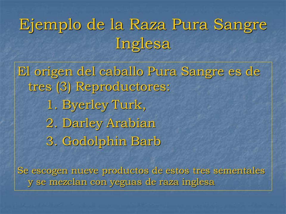 Ejemplo de la Raza Pura Sangre Inglesa El origen del caballo Pura Sangre es de tres (3) Reproductores: 1. Byerley Turk, 2. Darley Arabian 3. Godolphin