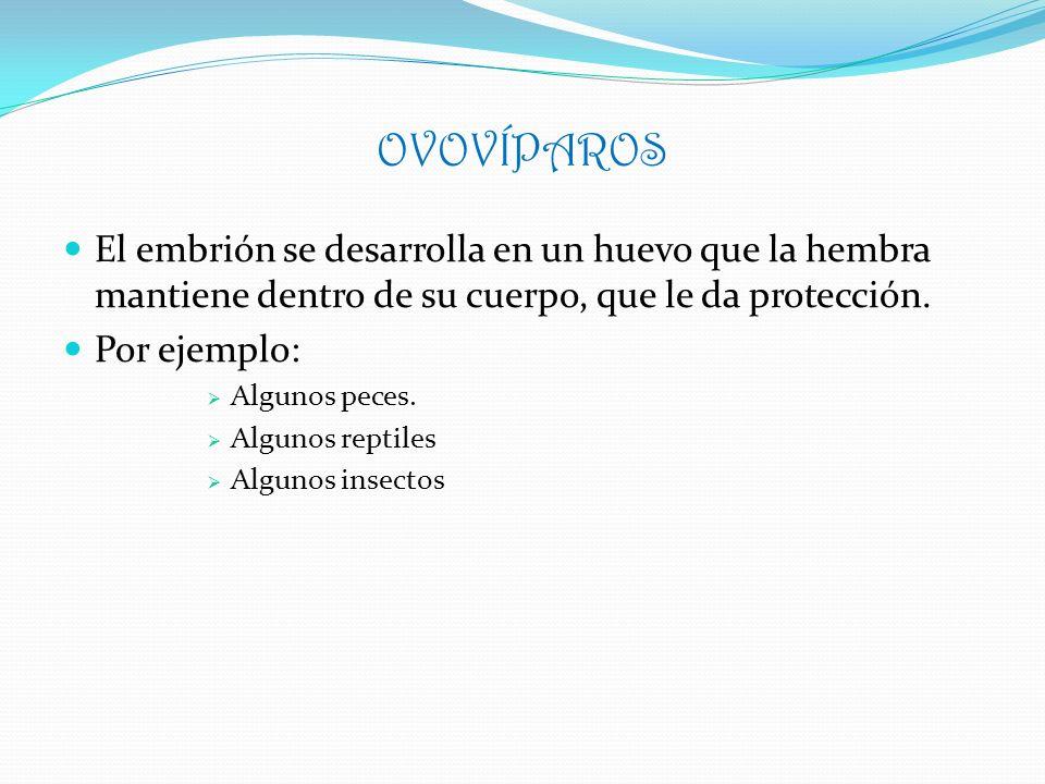 OVOVÍPAROS El embrión se desarrolla en un huevo que la hembra mantiene dentro de su cuerpo, que le da protección. Por ejemplo: Algunos peces. Algunos