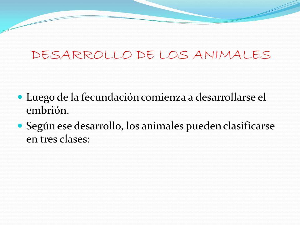 Luego de la fecundación comienza a desarrollarse el embrión. Según ese desarrollo, los animales pueden clasificarse en tres clases: DESARROLLO DE LOS