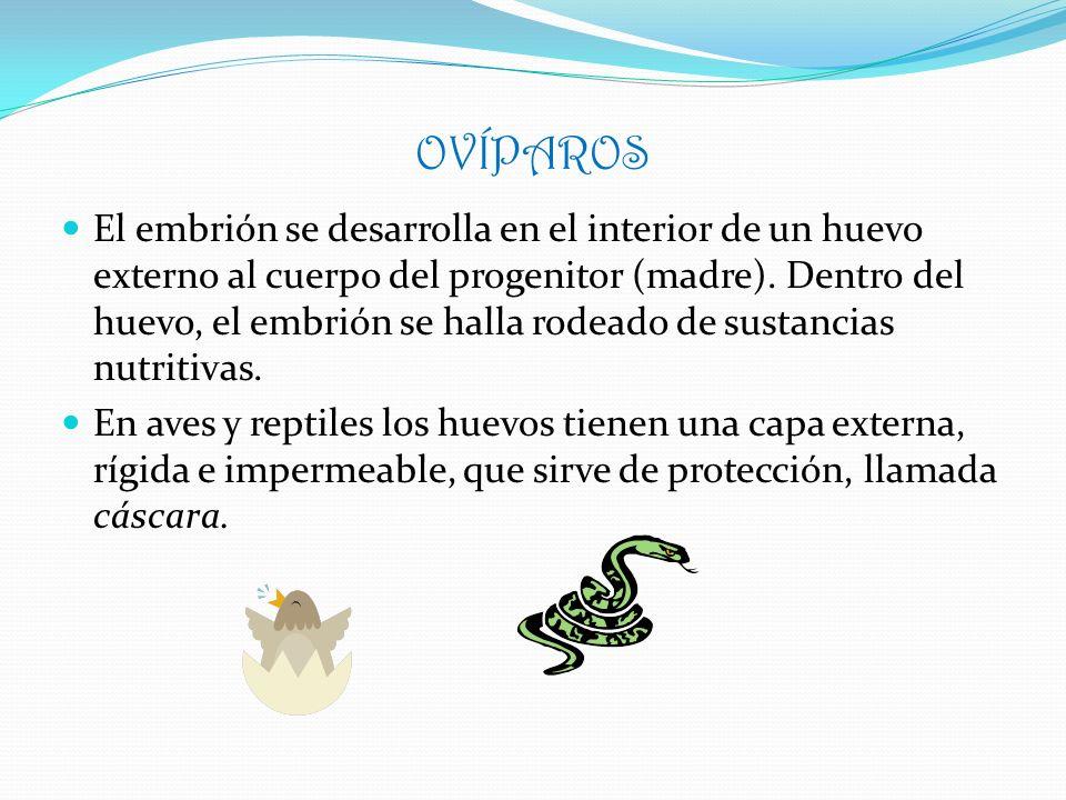 OVÍPAROS Un caso particular en este grupo son los OVULÍPAROS, cuyo embrión se desarrolla en un huevo sin cáscara, como ocurre en: PECESANFIBIOSINVERTEBRADOS