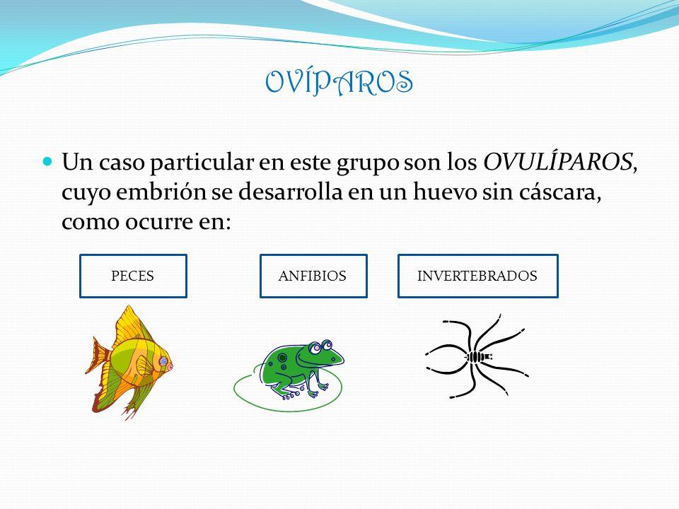 OVÍPAROS Un caso particular en este grupo son los OVULÍPAROS, cuyo embrión se desarrolla en un huevo sin cáscara, como ocurre en: PECESANFIBIOSINVERTE