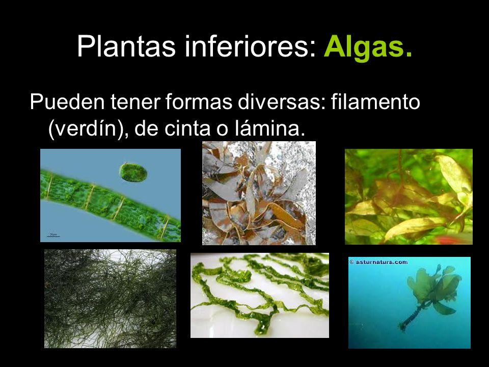 Pueden tener formas diversas: filamento (verdín), de cinta o lámina.