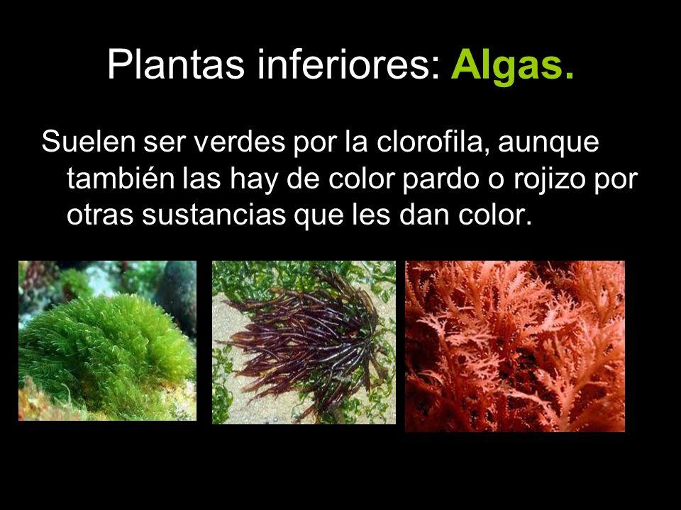 Plantas inferiores: Algas. Suelen ser verdes por la clorofila, aunque también las hay de color pardo o rojizo por otras sustancias que les dan color.