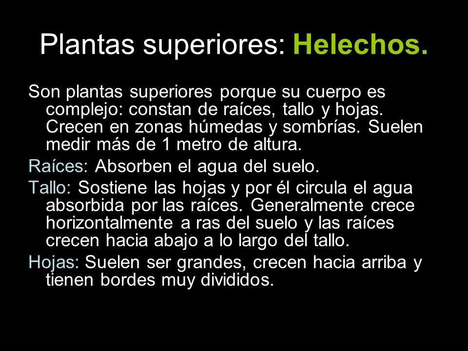 Plantas superiores: Helechos. Son plantas superiores porque su cuerpo es complejo: constan de raíces, tallo y hojas. Crecen en zonas húmedas y sombría