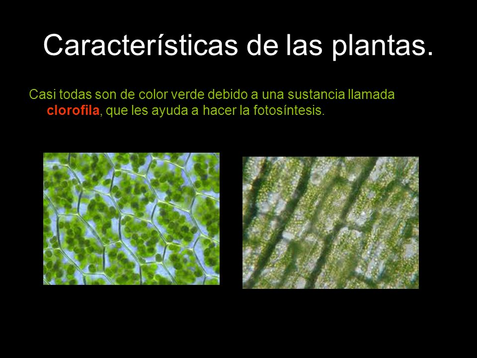Características de las plantas. Casi todas son de color verde debido a una sustancia llamada clorofila, que les ayuda a hacer la fotosíntesis.