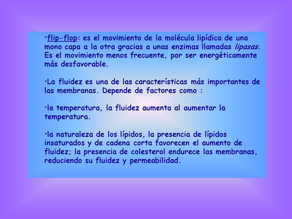 flip-flop: es el movimiento de la molécula lipídica de una mono capa a la otra gracias a unas enzimas llamadas lipasas. Es el movimiento menos frecuen